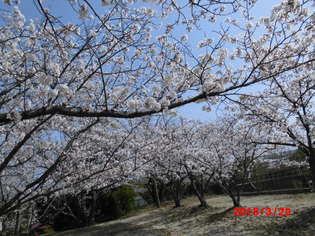 お花見 かがやき保育園 福岡市西区